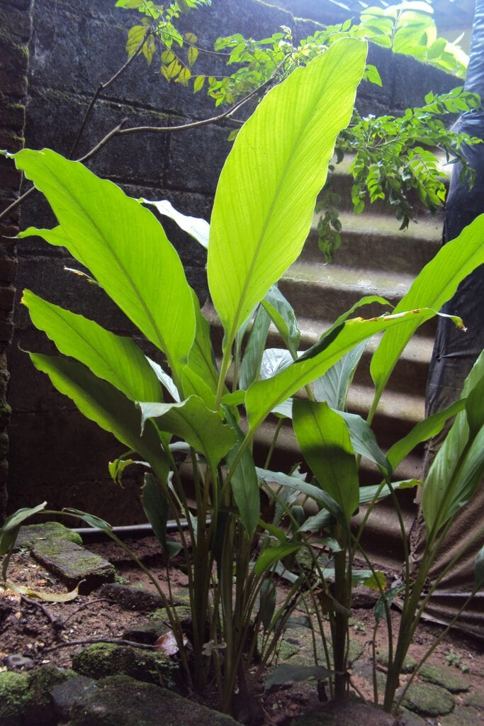 Ginger plant fully grown